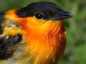 Orange Collared Manakin