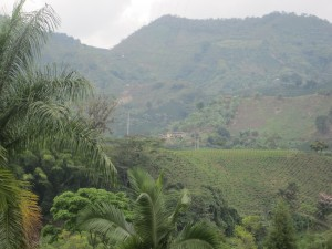Coffee Growing Near Manizales Colombia