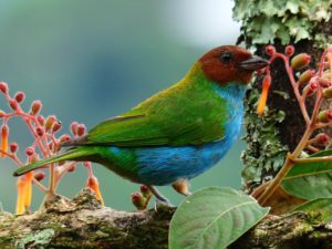 One of the nicest organic coffee side effects is preservation of habitat for birds like the Tangara Gyrola that lives around Manizales, Caldas, Colombia