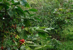 There are many shade grown coffee benefits including preservation of biodiversity and a better cup of coffee.
