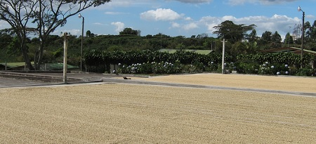 Coffee Drying in the Sun