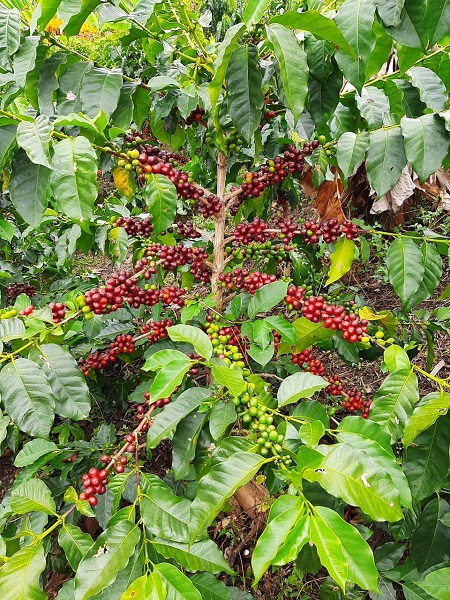 How to Buy Great Fresh Coffee - Pink Bourbon Coffee Finca La Paula